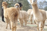 Group of alpacas at Carolina Pride Pastures