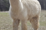 Baby alpaca Storm in the pasture
