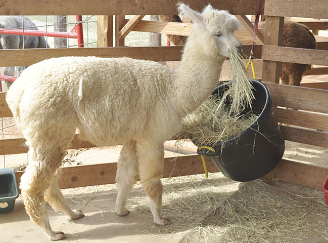 Storm the baby alpaca eating