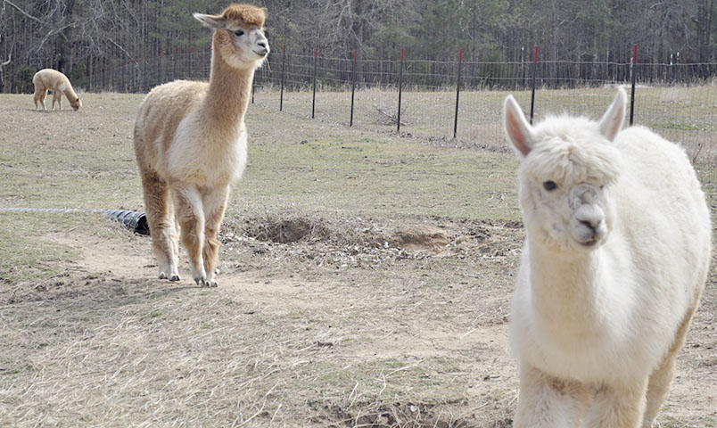 Three alpacas in a pasture