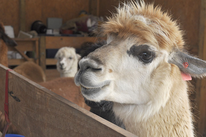 Misty the alpaca in the barn