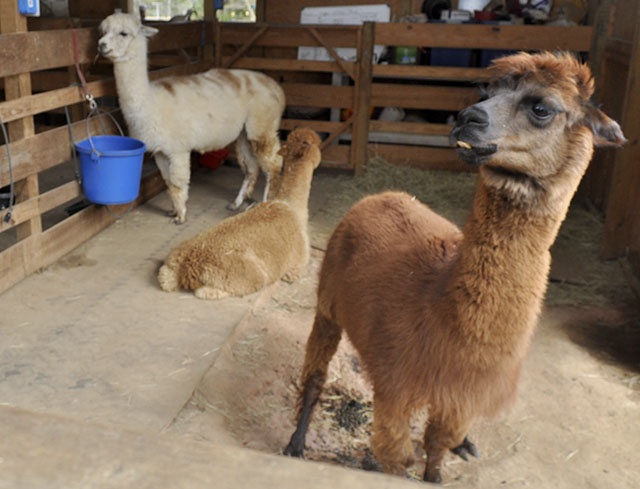 Three alpacas in the barn
